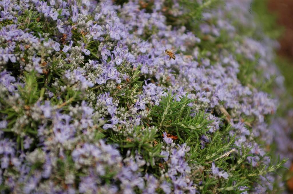 Bee enjoying a Rosary Plant