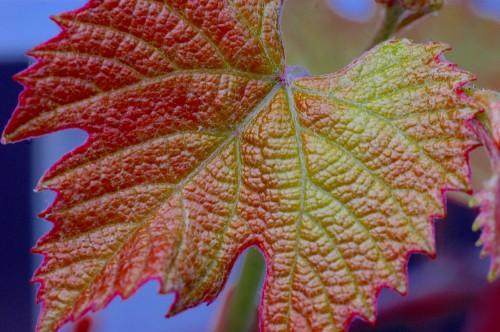Concord Grape Leave
